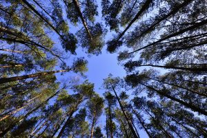 _absolutely_free_photos_original_photos_looking-up-in-spring-pine-forest-tree-to-canopy-bottom-view-wide-angle-background-4596x3072_20237
